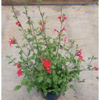 【当店農場生産】チェリーセージ ホットリップ 9cmポット苗 ハーブ 耐寒性宿根草で毎年咲く♪