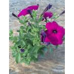 【当店農場生産】ランブリングペチュニア 9cmポット苗 毎年咲く強いペチュニア!耐寒性宿根草♪