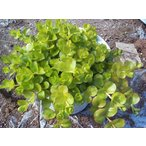 【当店農場生産】リシマキアオーレア 9cmポット苗 はうように育つグランドカバー♪耐寒性多年草