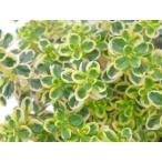 【当店農場生産】ゴールデンクイーンタイム 9センチポット苗 繁殖力旺盛なハーブ