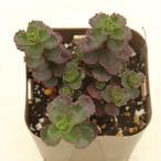 多肉植物 セダム ドラゴンズブラッド 7.5cmポット苗