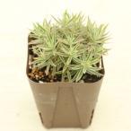 多肉植物 セダム リネアレバリエガータ(笹姫 覆輪万年草) 7.5cmポット苗