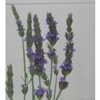 【当店農場生産】ラバンディンラベンダー 9センチポット苗 宿根草 寒さに強いラベンダーです☆