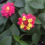 【当店農場生産】ランタナ 七変化  9cmポット苗 夏に強いお花です☆