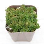 多肉植物 セダム(極細葉) モリムラ万年草 7.5cmポット苗
