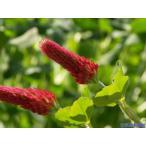 【100円均一】クリムソンクローバー(ストロベリーキャンドル) 9cmポット苗 生育力旺盛 可愛い花が咲きます♪