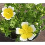【100円均一】リムナンテス・ポーチドエッグフラワー  9cmポット苗 ポーチドエッグのような花がとても可愛らしい♪