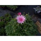 【当店農場生産】桃色タンポポ(クレピス)ピンク  9cmポット苗 ピンクのタンポポがたくさん咲きます♪