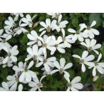 【当店農場生産】プラティア・アングラータ 9cmポット苗 宿根草 一面に白い花が咲きます♪