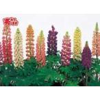 【100円均一】ルピナス(苗) 9cmポット苗 大きくなり沢山のお花が咲きます