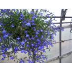 【当店農場生産】宿根ロベリア リチャードソニー(苗)  9cmポット苗 ハンギングに最適です♪