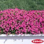 【当店農場生産】シレネ・セリナ 9cmポット苗 ピンク色のかわいい花が咲きます☆