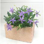 Yahoo!ハニーミント【100円均一】イソトマ 9cmポット苗 かわいい花が咲きます♪