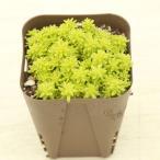 多肉植物 ドリームスター 7.5cmポット苗