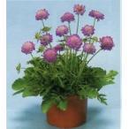 【100円均一】スカビオサ ブルーノート 9cmポット苗 大輪のブルーのお花が咲きます♪