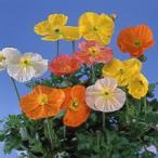 【100円均一】アイスランドポピー 9cmポット苗 薄い花びらの美しい花が咲きます☆