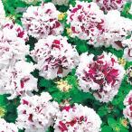 【当店農場生産】八重咲きペチュニア ピロエット パープル 9cmポット苗 毎年咲く強いペチュニア!耐寒性宿根草♪