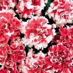 【当店農場生産】八重咲きペチュニア ピロエット レッド 9cmポット苗 毎年咲く強いペチュニア!耐寒性宿根草♪