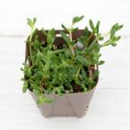 多肉植物 ヌビゲナム 7.5cmポット苗