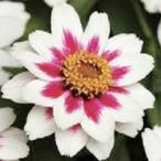 【当店農場生産】ジニア ザハラ・スターライトローズ(苗) 9cmポット苗 かわいいお花が咲きます♪