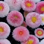 【100円均一】デージー・タッソー ストロベリー&クリーム 9cmポット苗 イチゴクリームのような可愛い花を株一面に咲かせます♪