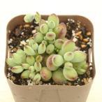 多肉植物 コチレドンペンデンス 7.5cmポット苗