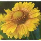 【当店農場生産】ガイラルディア アリゾナアプリコット 9cmポット苗 寒さに強く毎年咲きます♪