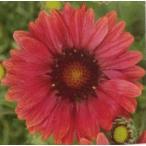 【当店農場生産】ガイラルディア アリゾナレッドシェード 9cmポット苗 寒さに強く毎年咲きます♪