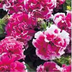 【当店農場生産】八重咲きペチュニア ピロエット ローズ(花なし苗) 9cmポット苗 毎年咲く強いペチュニア!