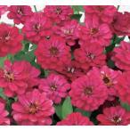 Yahoo!ハニーミント【当店農場生産】ジニア プロフュージョン ダブルホットチェリー(苗)9cmポット苗 かわいいお花が咲きます♪