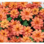 Yahoo!ハニーミント【当店農場生産】ジニア プロフュージョン ダブルディープサーモン(苗) 9cmポット苗 かわいいお花が咲きます♪