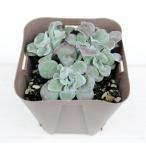Yahoo!ハニーミント多肉植物 スパツリフォリウム(パープレウム) 7.5cmポット苗 グランドカバーに最適!