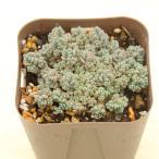 多肉植物 プレビフォリウム 7.5cmポット苗