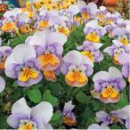 【当店農場生産】ビオラ ももか いるか(花なし苗) 9cmポット苗 花壇や寄せ植えに♪