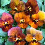 【当店農場生産】ビオラ ももか ゆうやけ(花なし苗) 9cmポット苗 花壇や寄せ植えに♪