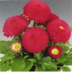 【100円均一】デージー・タッソー ディープローズ 9cmポット苗 中輪ポンポン咲きの花が咲きます♪