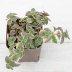 多肉植物 ペルシダ錦 7.5cmポット苗