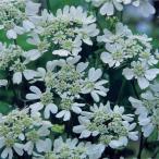 Yahoo!ハニーミント【当店農場生産】オルレア ピエリスホワイト 9cmポット苗 かわいい花がたくさん咲きます♪