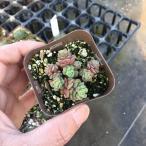多肉植物 スプリングワンダー 7.5cmポット苗