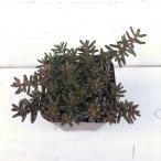 多肉植物 アルブム ヒレブランティ 7.5cmポット苗