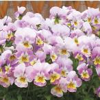 【当店農場生産】ビオラ なごみももか かんかん(花なし苗) 9cmポット苗 花壇や寄せ植えに♪
