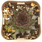 多肉植物 センペルビウム ブロンコ 7.5cmポット苗