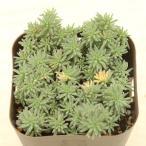 多肉植物 セダム クリームソーダ 7.5cmポット苗