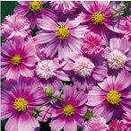 【当店農場生産】コスモス ピンクポップソックス 9cmポット苗 鉢植えの栽培にも最適♪