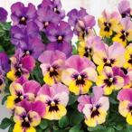 【当店農場生産】ビオラ ももか おまつり(花なし苗) 9cmポット苗 花壇や寄せ植えに♪