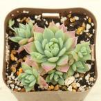 多肉植物 グラプトペダルム マクドガリー 7.5cmポット苗