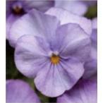 【100円均一】ビオラ ソルベXP ラベンダーピンク 9cmポット苗(若苗) 花壇や寄せ植えに♪