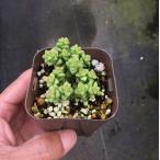 【100円均一】多肉植物 クラッスラ 小米星(こまいぼし) 7.5cmポット苗 お一人様1点限り