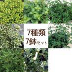 【当店農場生産】タイム 7種類7鉢セット 繁殖力旺盛なタイム グランドカバーに!