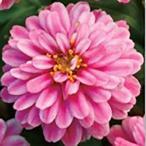 Yahoo!ハニーミント【80円!】ジニア ダブルザハラ ラズベリーリップル 9cmポット苗 かわいいお花が咲きます♪